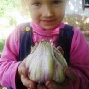 Чеснок на посадку озимый продам сорт СОФИЕВСКИЙ семена чеснока
